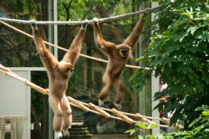 Amazing ThailaAmazing Thailand SA. Ways to make a difference. Gibbon Rescue